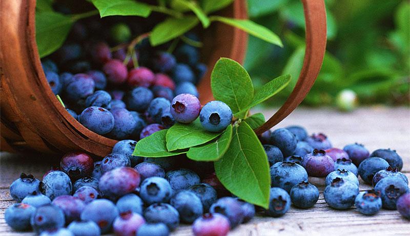 蓝莓采摘园